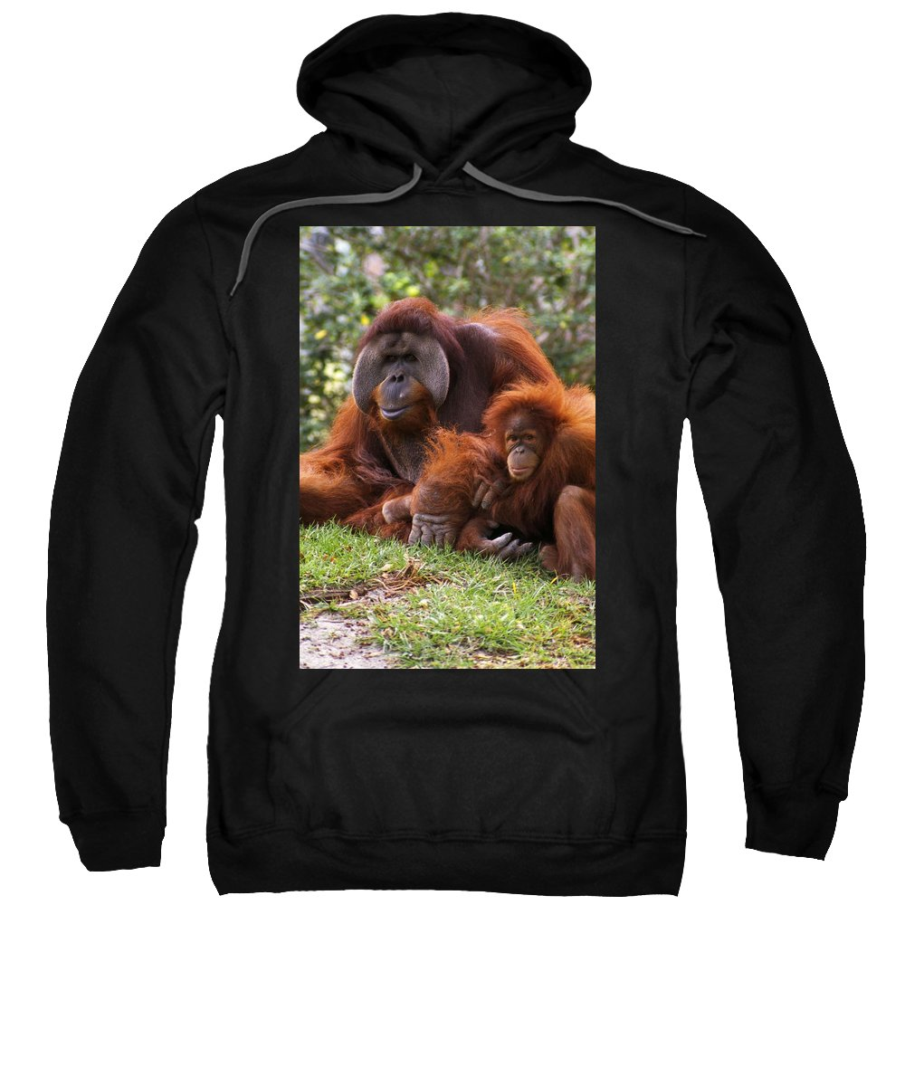 Animal Sweatshirt featuring the photograph Orangutan Mother And Baby by Natural Selection Ralph Curtin