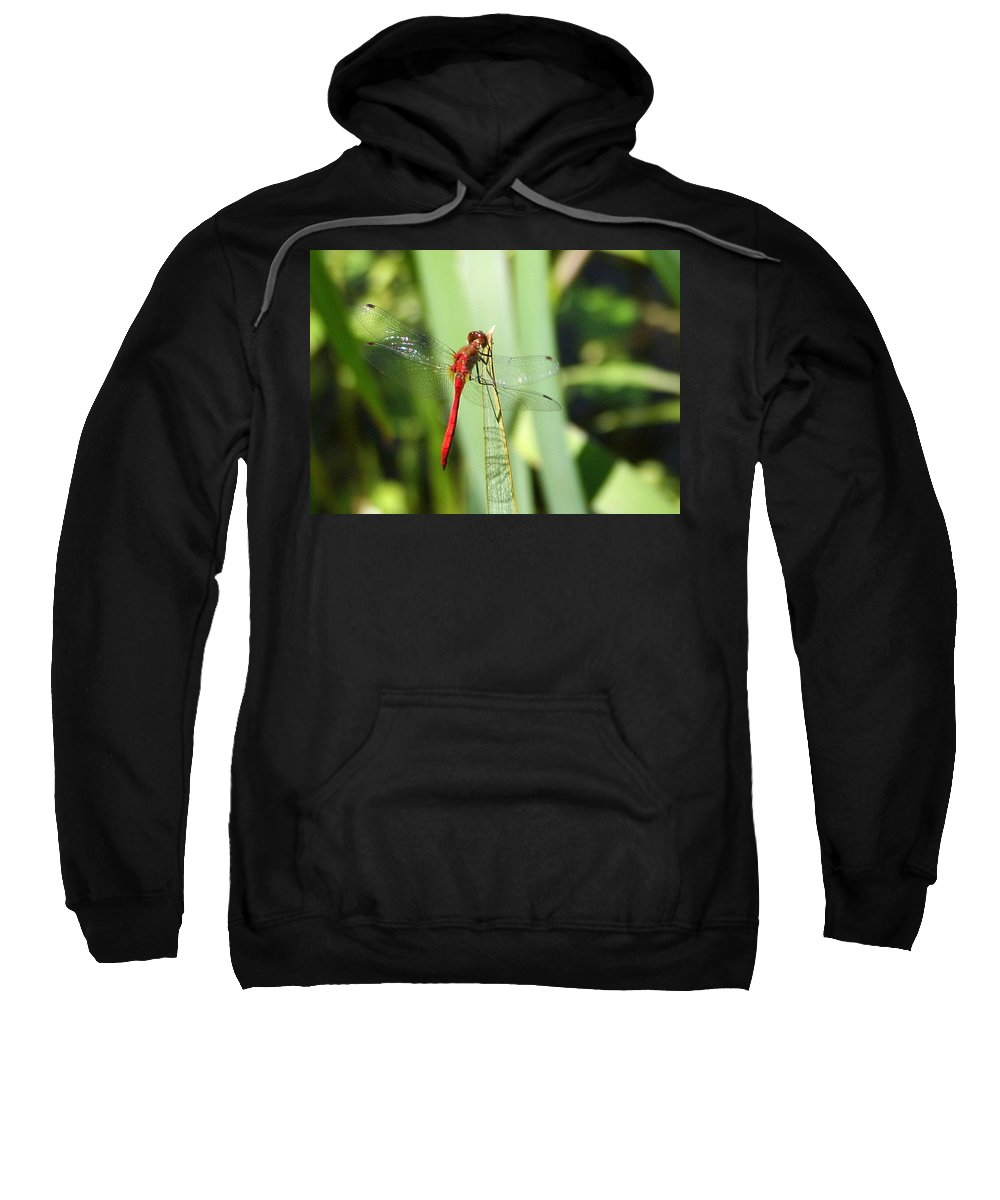 Ruby Meadowhawk Sweatshirt featuring the photograph Ruby Meadowhawk Dragonfly by Laurel Talabere