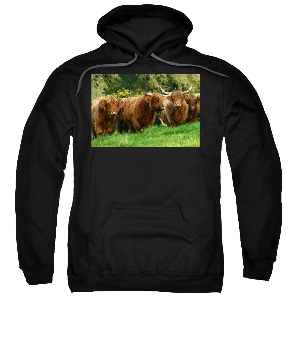Cow Sweatshirt featuring the photograph Highland Cattle by Angel Ciesniarska
