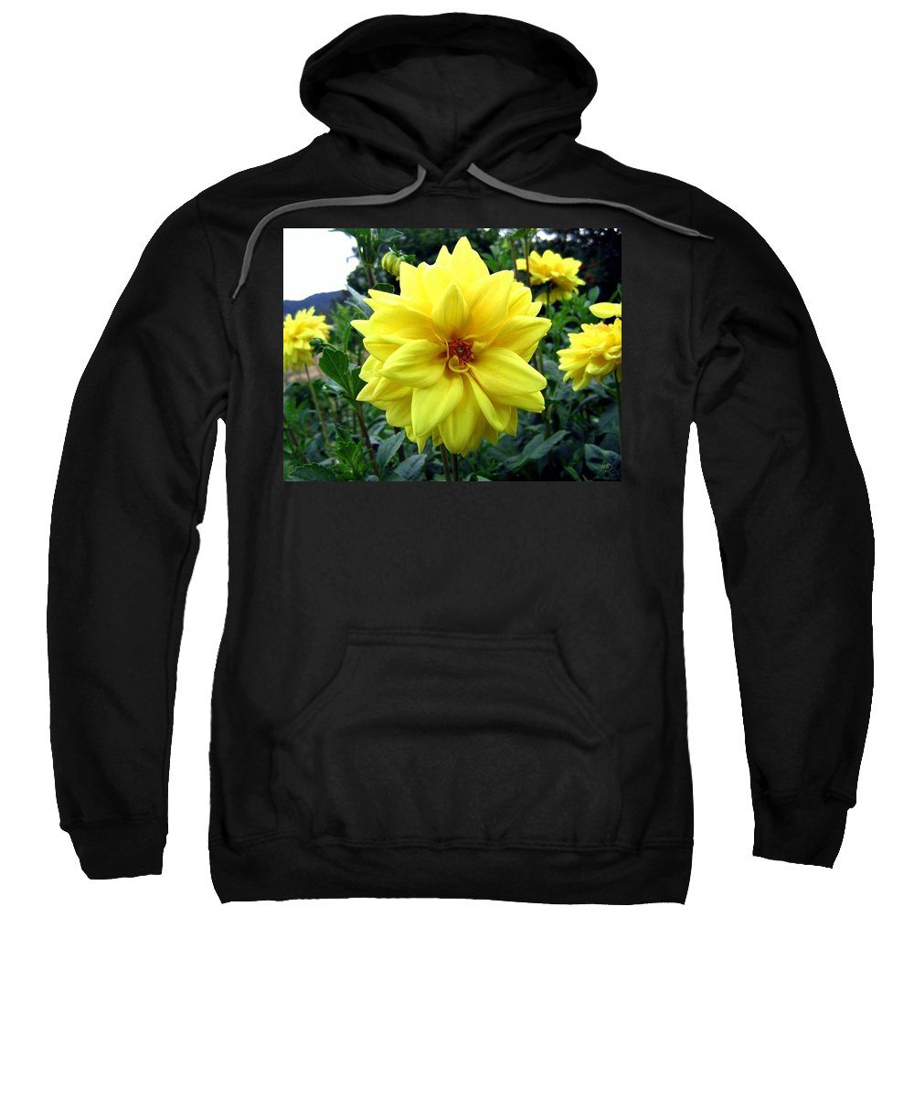 Yellow Dahlias Sweatshirt featuring the photograph Country Dahlias by Will Borden