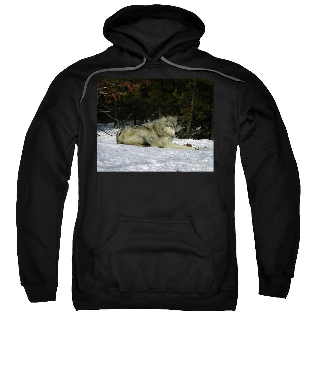 Gray Wolf Sweatshirt featuring the photograph Gray Wolf 5 by Anthony Jones