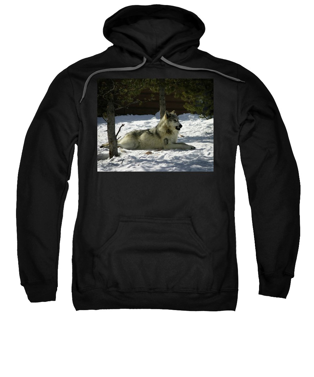 Gray Wolf Sweatshirt featuring the photograph Gray Wolf 6 by Anthony Jones