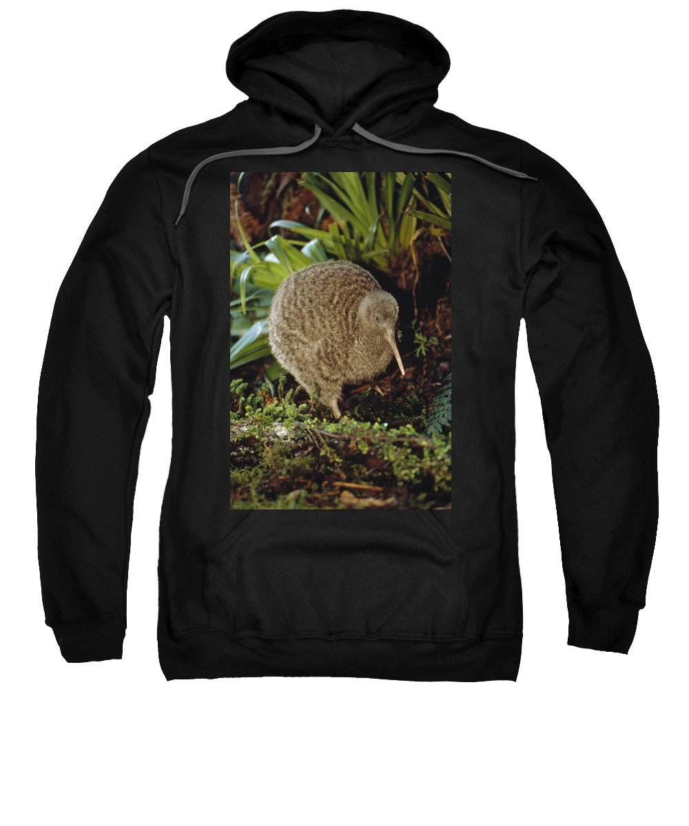 Mp Sweatshirt featuring the photograph Great Spotted Kiwi Apteryx Haastii Male by Tui De Roy