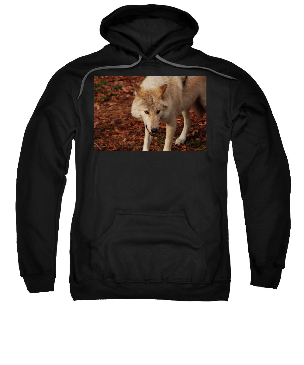 Wolf Sweatshirt featuring the photograph I'm Coming For You by Lori Tambakis