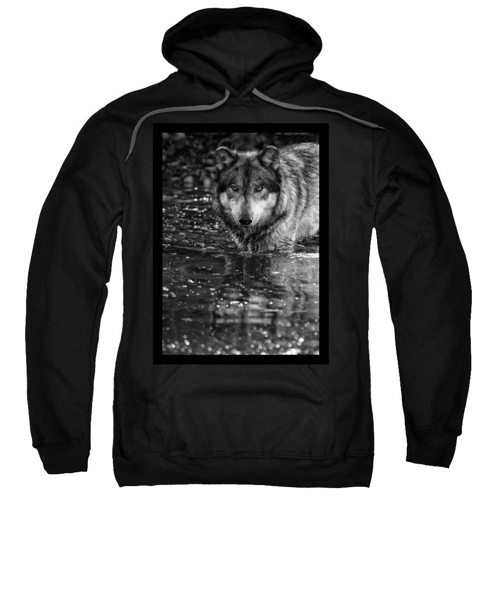 Wolf Wolves Lupine Canis Lupus Wildlife Animal Photography Photograph Sweatshirt featuring the photograph Intense Reflection by Shari Jardina