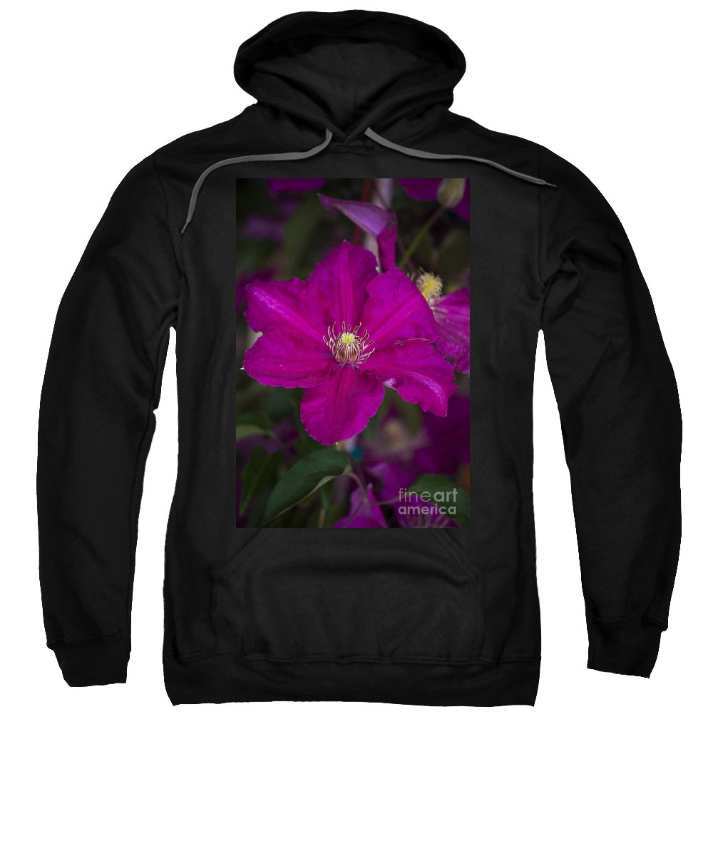 Magenta Sweatshirt featuring the photograph Magenta Clematis by Jim And Emily Bush