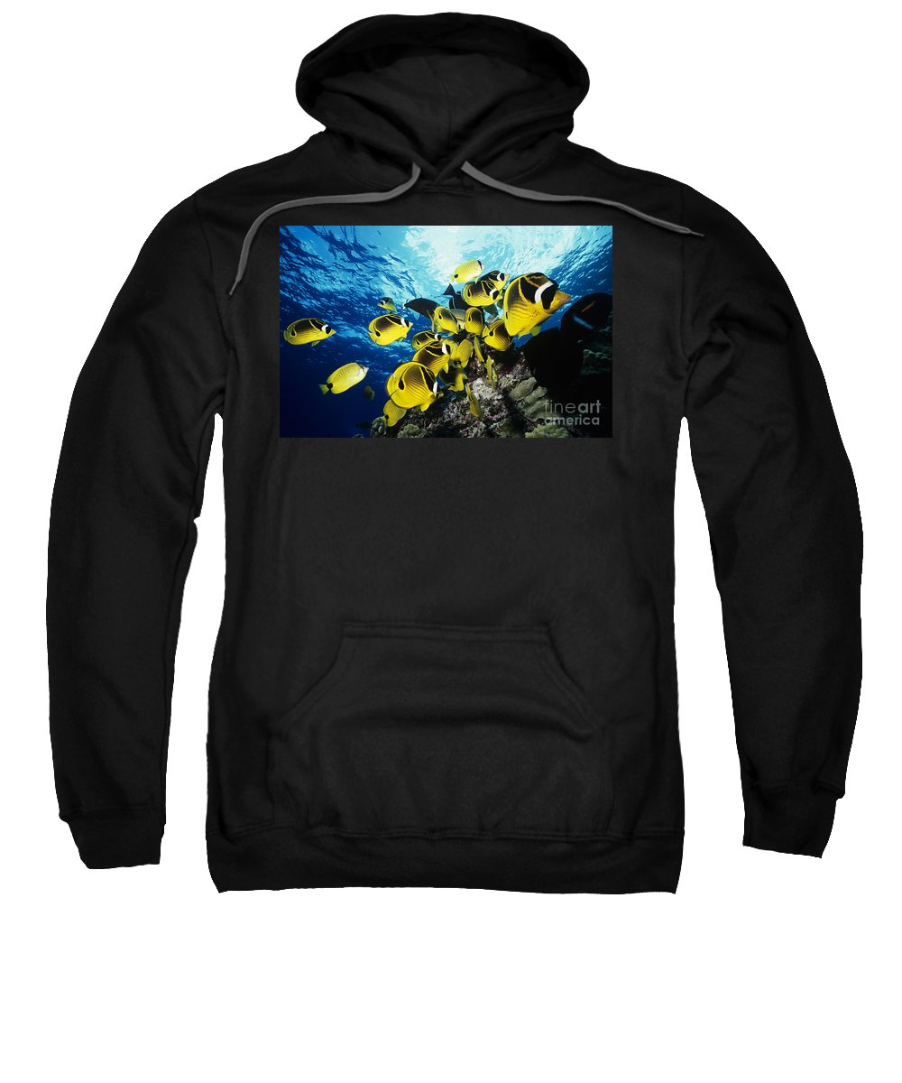 Animal Art Sweatshirt featuring the photograph Raccoon Butterflyfish by Ed Robinson - Printscapes