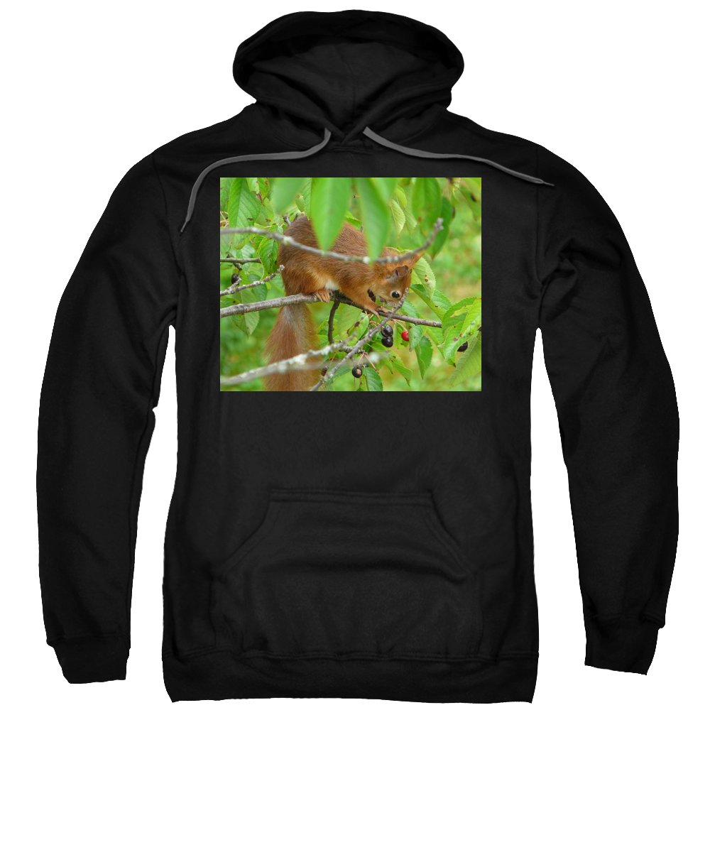 Animal Sweatshirt featuring the photograph Red Squirrel In The Cherry Tree by Valerie Ornstein