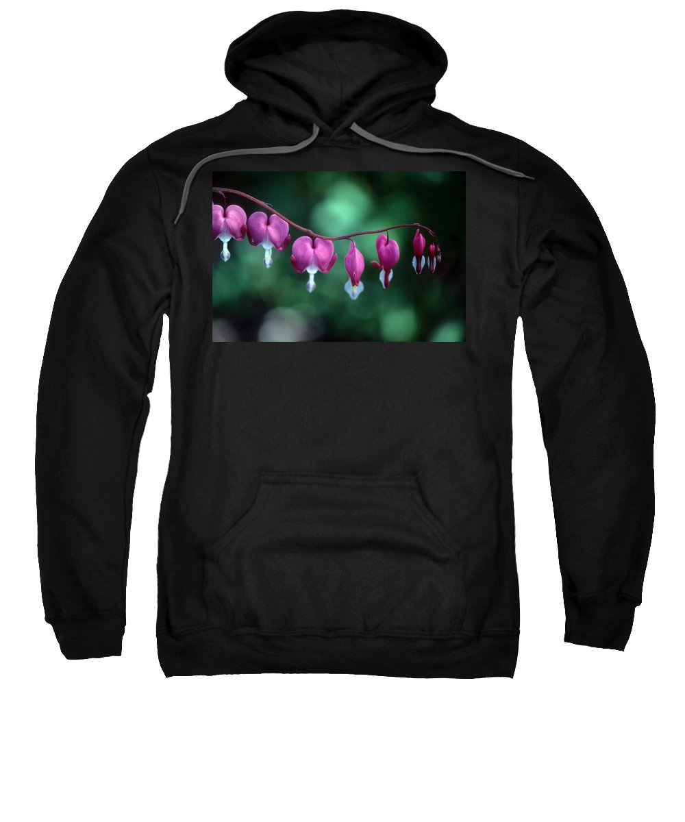 Bleeding Hearts Sweatshirt featuring the photograph Showy Bleeding Hearts by Laurie Paci