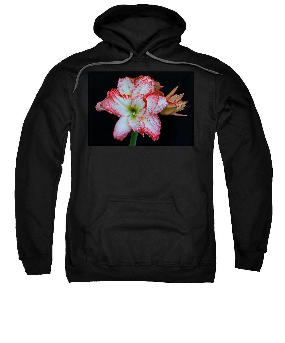 Amaryllis; Flower; Bloom; Blossom; Springtime; Spring; March; Stem. Bulb; Plant; Wildflower; Black; Sweatshirt featuring the photograph Springtime Florida Amaryllis by Allan Hughes