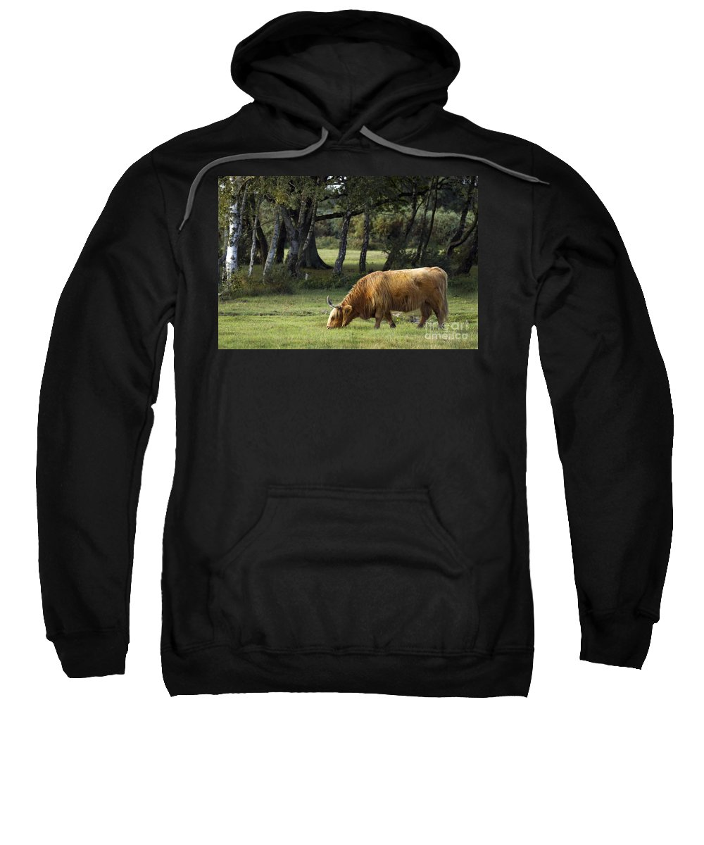 Heilan Coo Sweatshirt featuring the photograph The Creature Of New Forest by Angel Ciesniarska