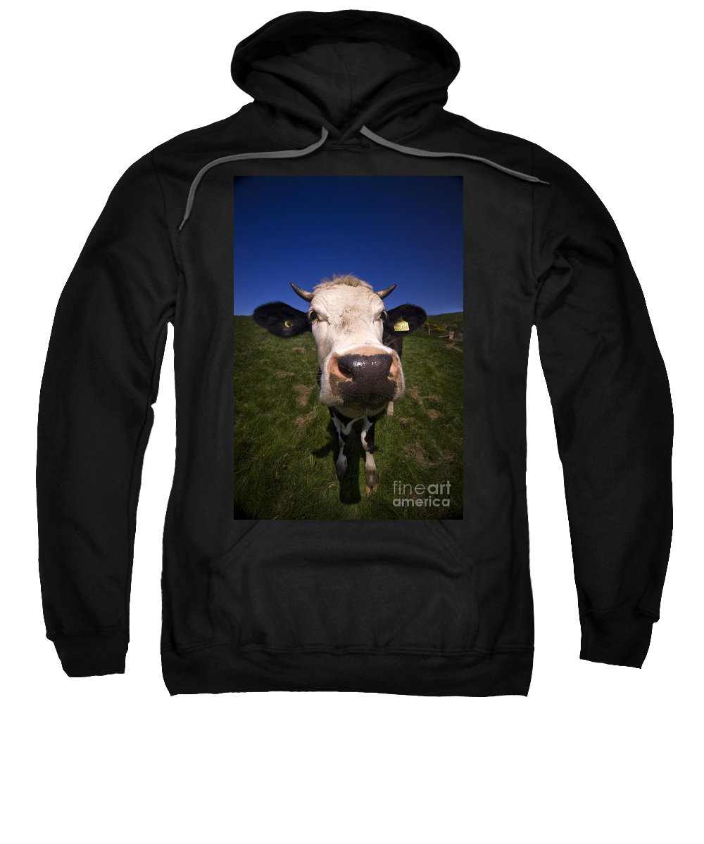 Cow Sweatshirt featuring the photograph The Wideangled Cow by Angel Tarantella