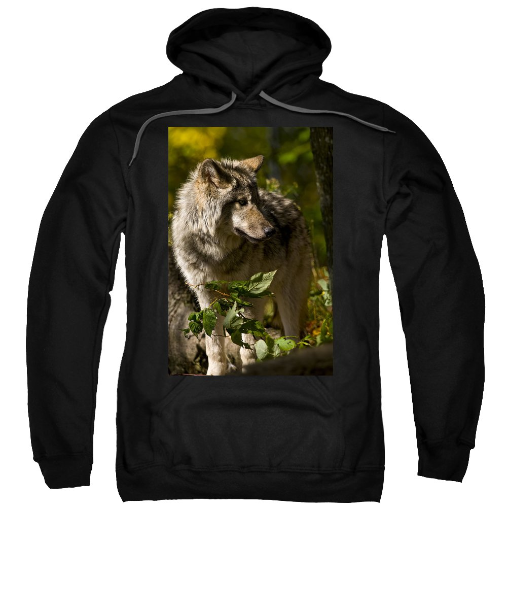 Michael Cummings Sweatshirt featuring the photograph Timber Wolf by Michael Cummings