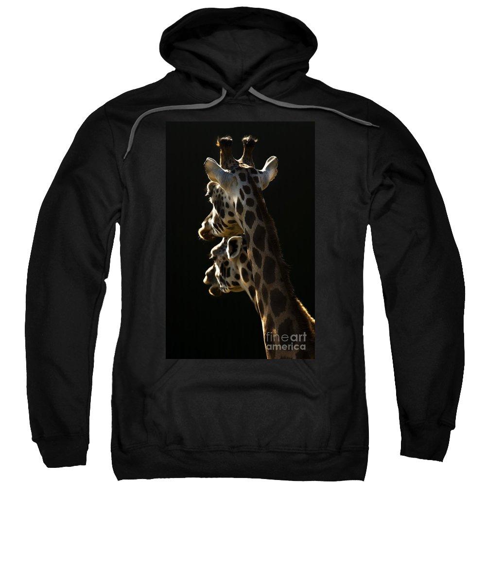 Giraffe Sweatshirt featuring the photograph Two Headed Giraffe by Angel Ciesniarska
