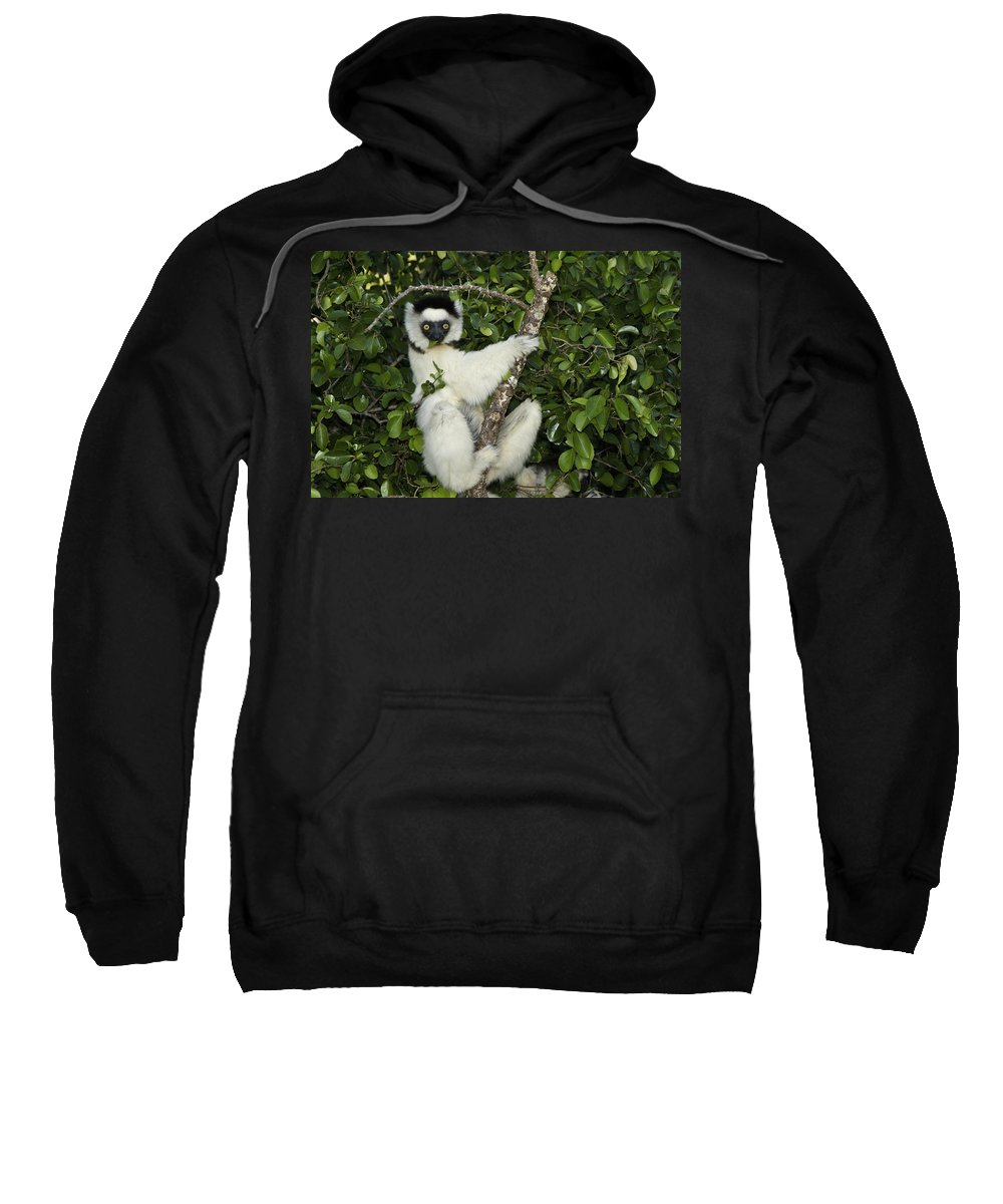 Madagascar Sweatshirt featuring the photograph Verreaux's Sifaka by Michele Burgess