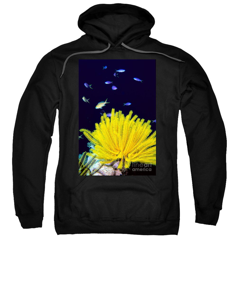 C1943 Sweatshirt featuring the photograph Yellow Feather Star by Ed Robinson - Printscapes
