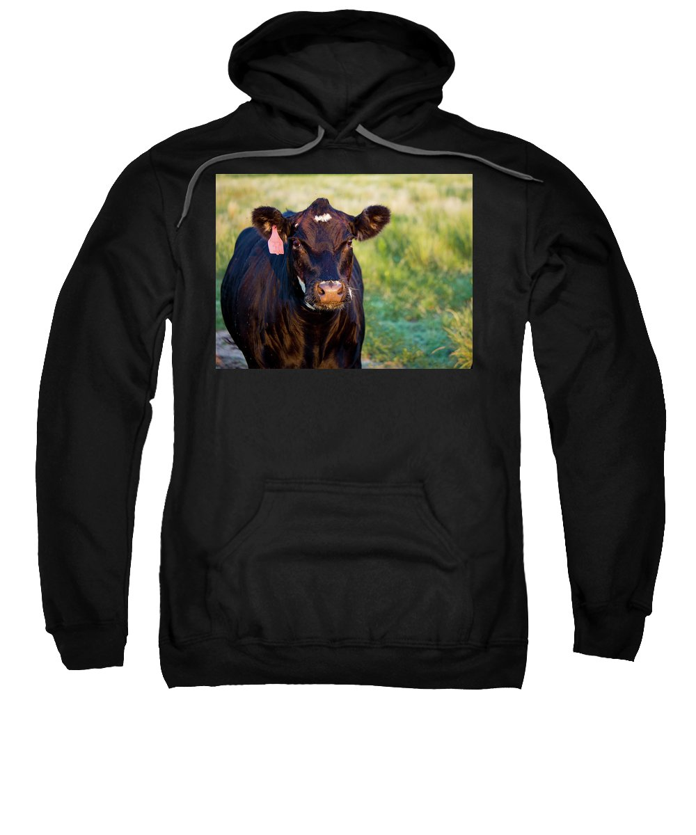 Black Cow Sweatshirt featuring the photograph Harriet Has Questions by Erica Nordling