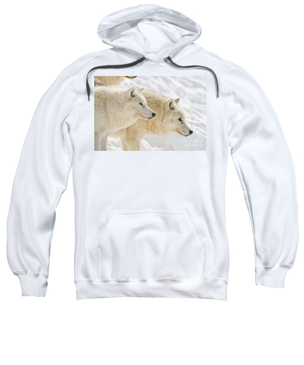 Arctic Wolf Sweatshirt featuring the photograph Arctic Wolf Pictures 1081 by World Wildlife Photography