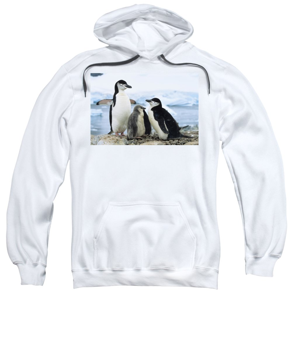 Feb0514 Sweatshirt featuring the photograph Chinstrap Penguins And Chicks Antarctica by Konrad Wothe