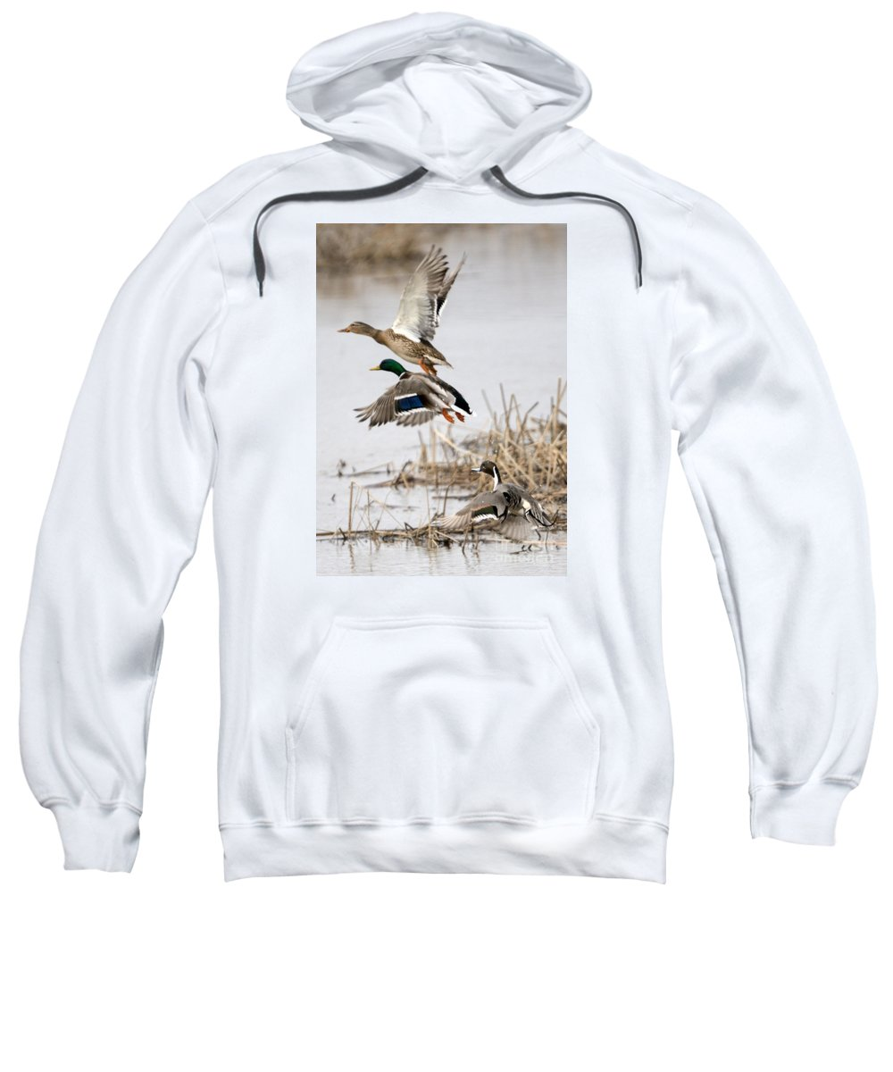 Ducks Sweatshirt featuring the photograph Crowded Flight Pattern by Mike Dawson