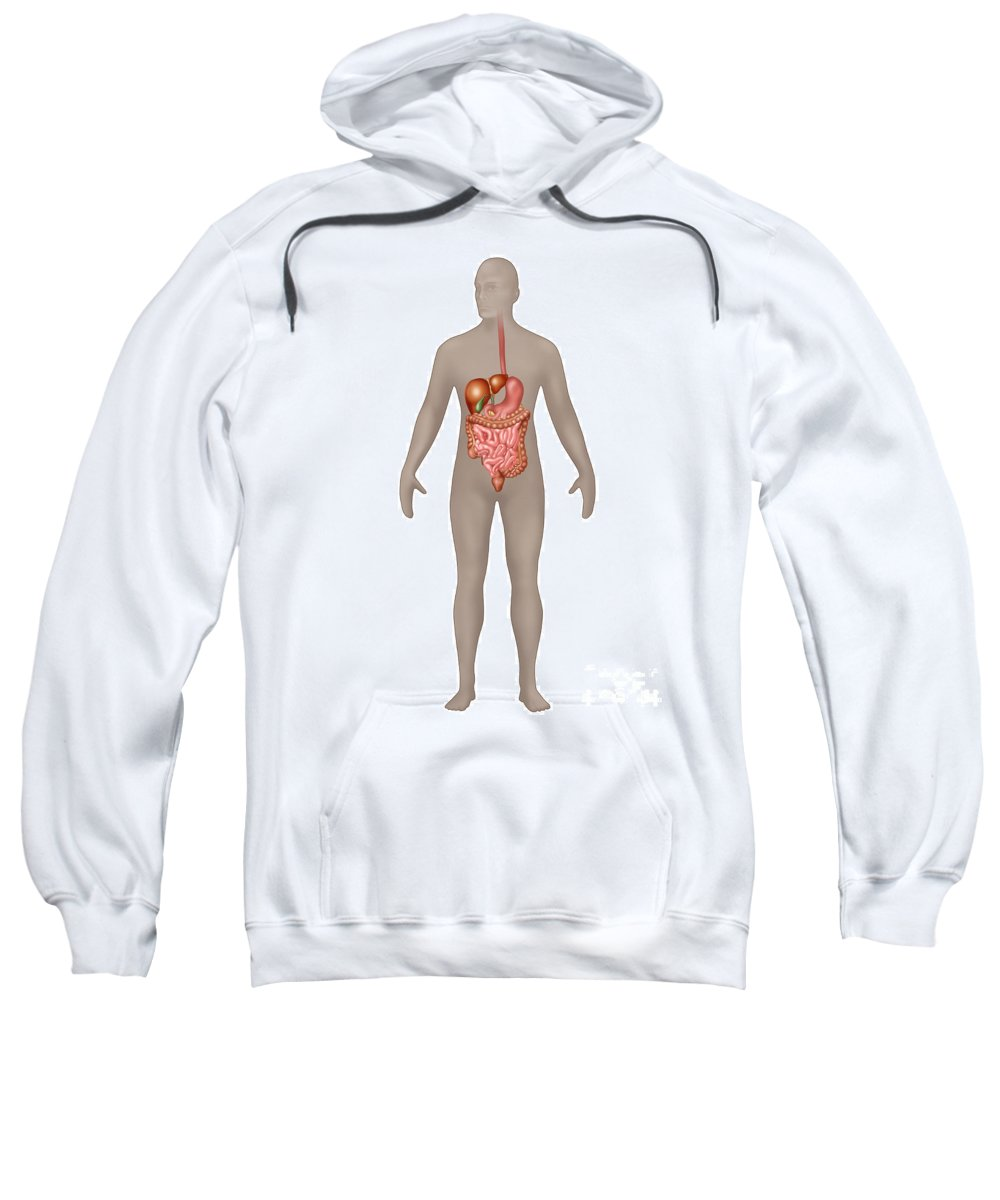 Science Sweatshirt featuring the photograph Digestive System In Male Anatomy by Gwen Shockey