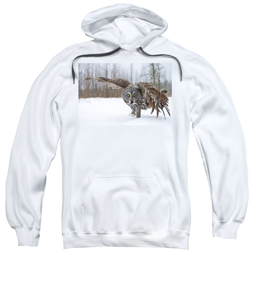 Great Gray Owl Sweatshirt featuring the photograph Great Gray Owl Pictures 658 by World Wildlife Photography