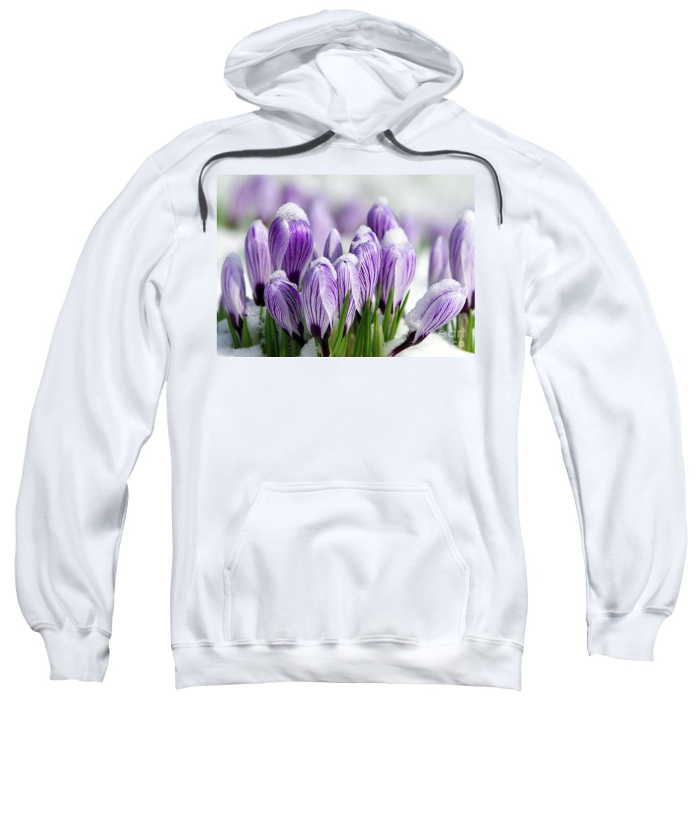 Purple Crocuses Sweatshirt featuring the photograph Striped Purple Crocuses In The Snow by Sharon Talson