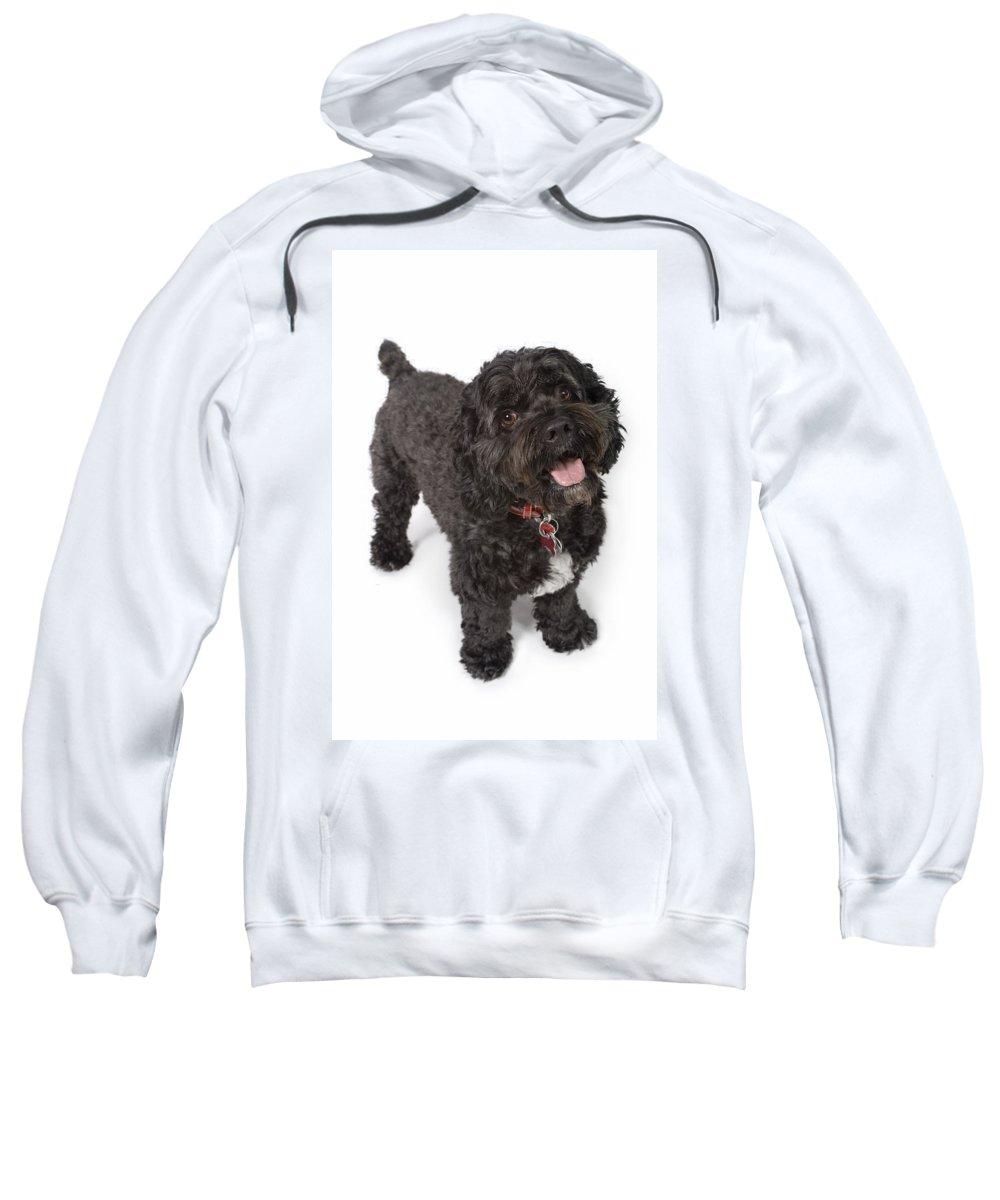 Animals Sweatshirt featuring the photograph Black Bichon-cocker Spaniel Dog by Corey Hochachka