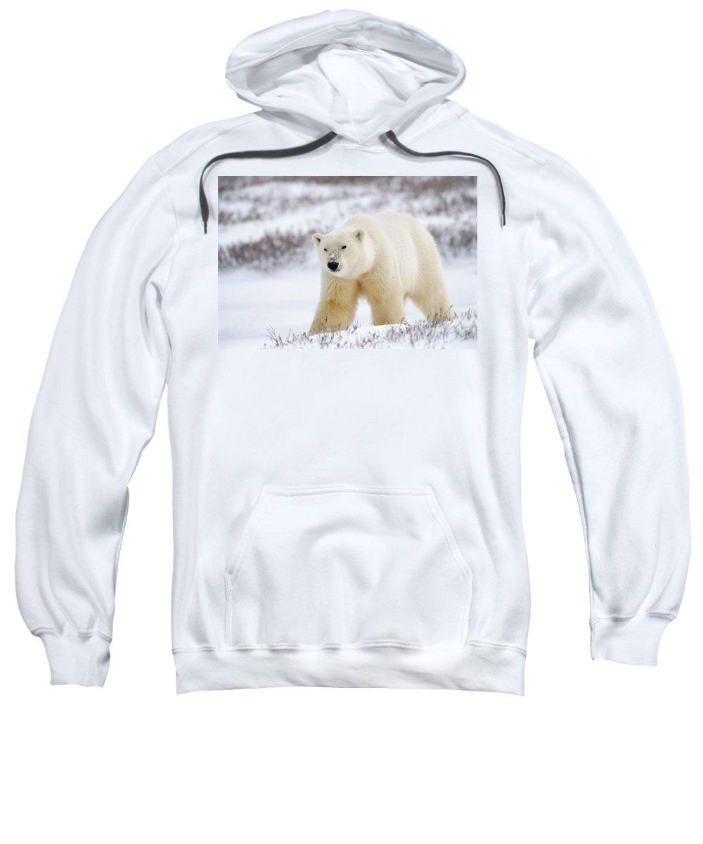 Churchill Sweatshirt featuring the photograph Polar Bear, Churchill, Manitoba by Mike Grandmailson