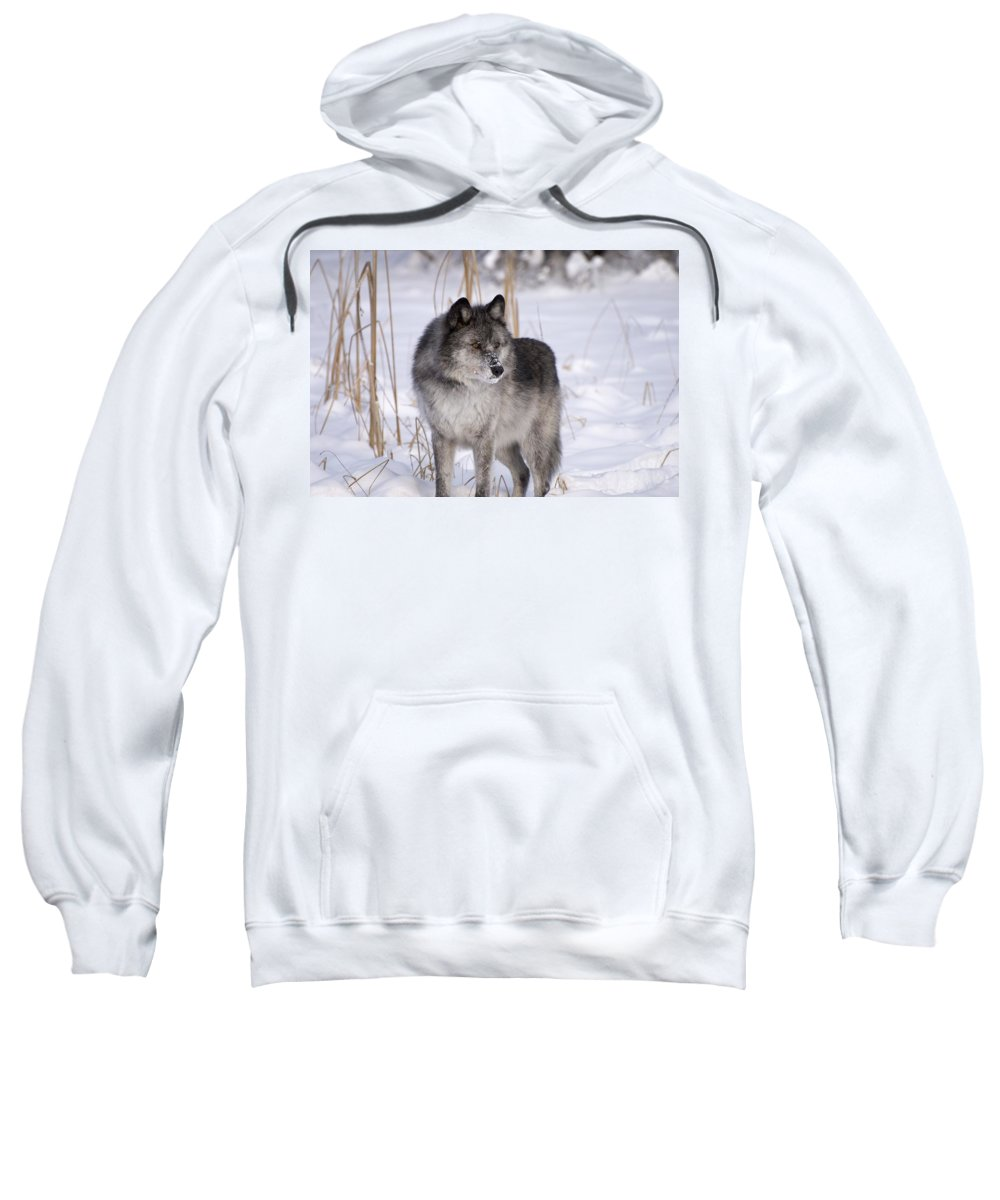 Animal Sweatshirt featuring the photograph Wolf In The Snow by Philippe Widling