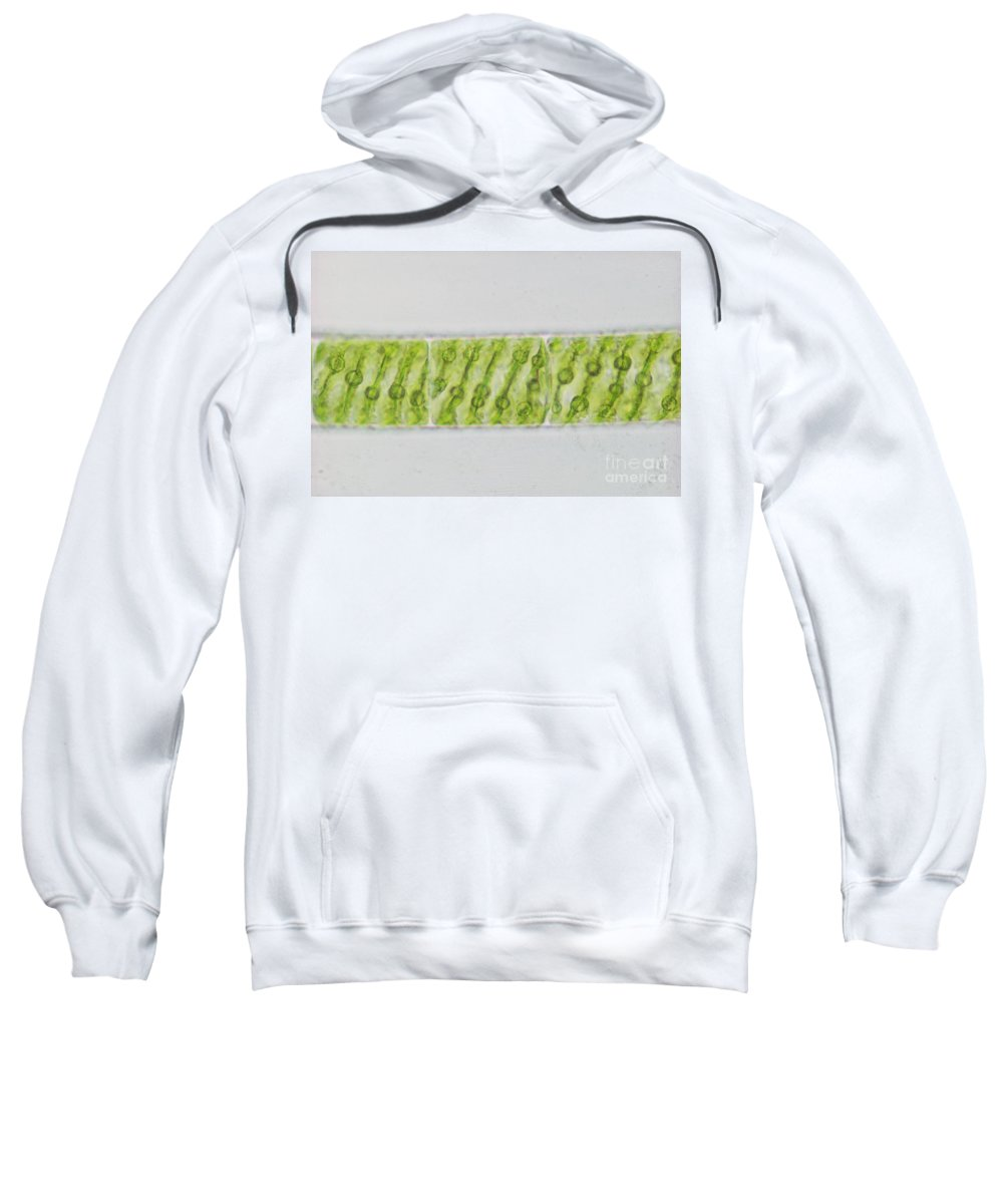 Science Sweatshirt featuring the photograph Spirogyra Sp. Algae Lm by M. I. Walker