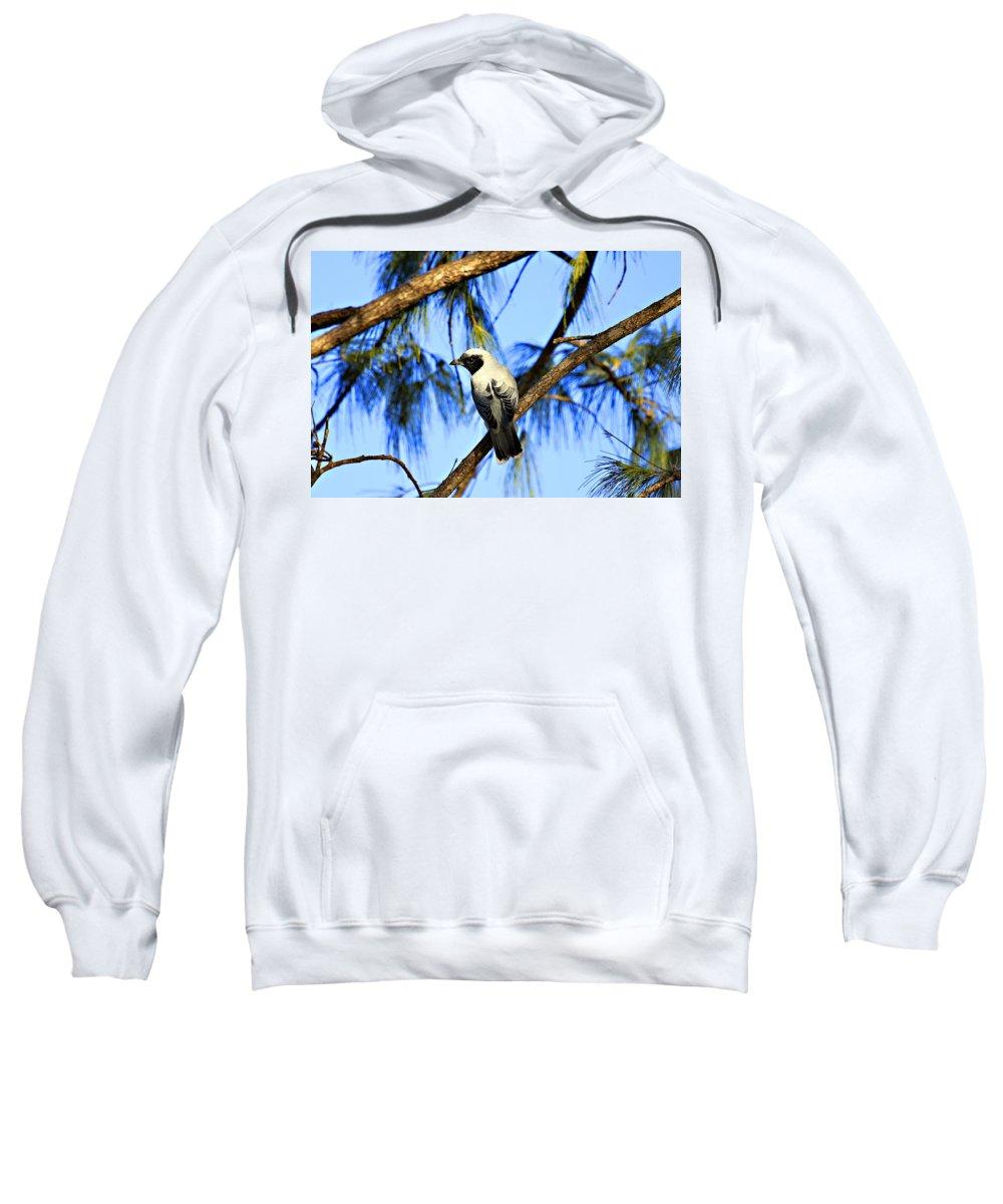 Black Faced Cuckoo Shrike Sweatshirt featuring the photograph Black Faced Cuckoo Shrike V3 by Douglas Barnard