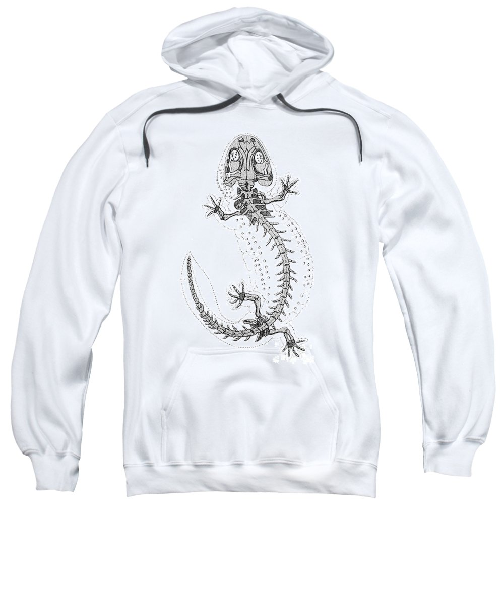Prehistory Sweatshirt featuring the photograph Cryptobranchus, Living Fossil by Science Source