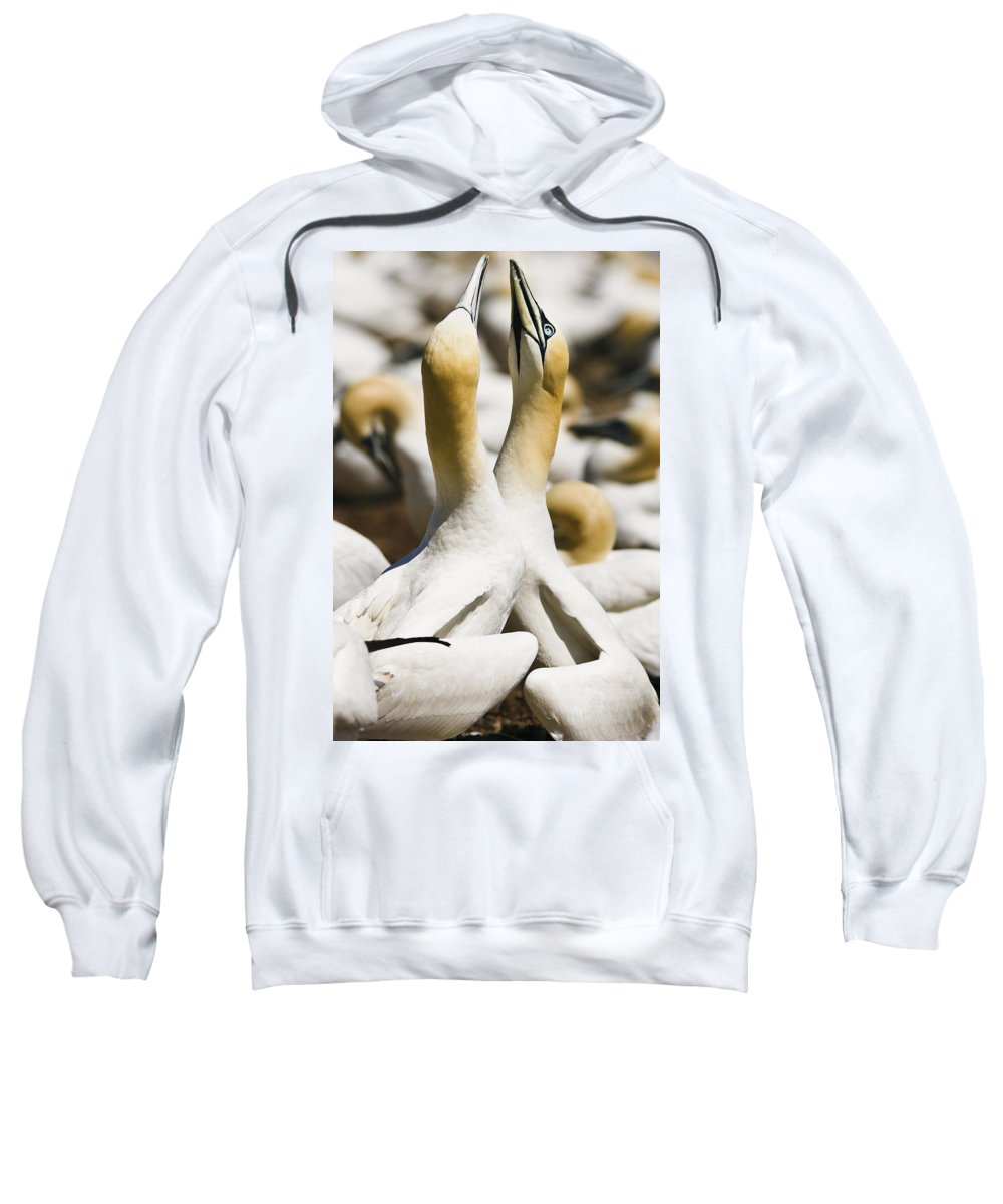 Animals In The Wild Sweatshirt featuring the photograph Gannets, Parc National De by Yves Marcoux