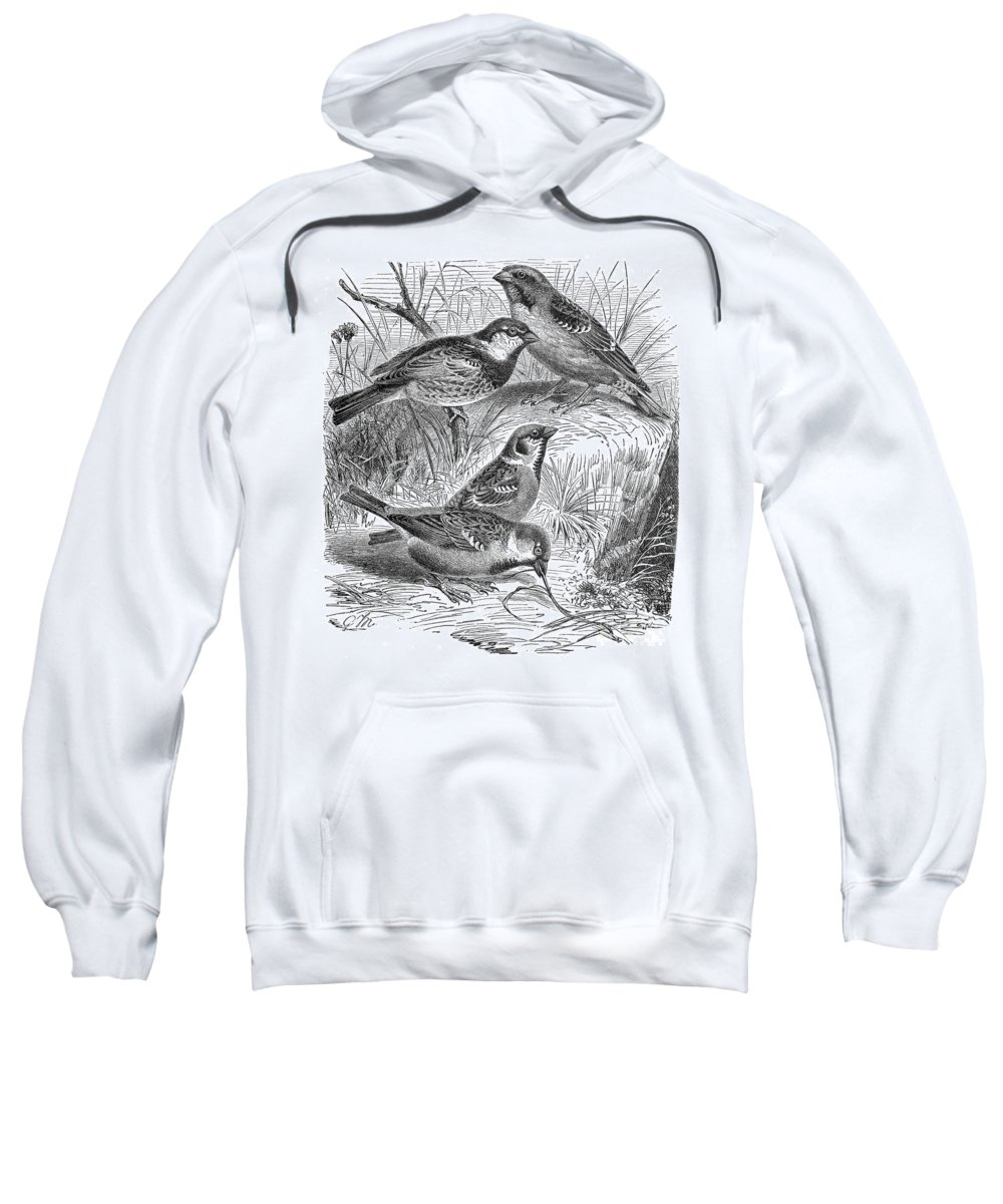19th Century Sweatshirt featuring the photograph Group Of Sparrows by Granger