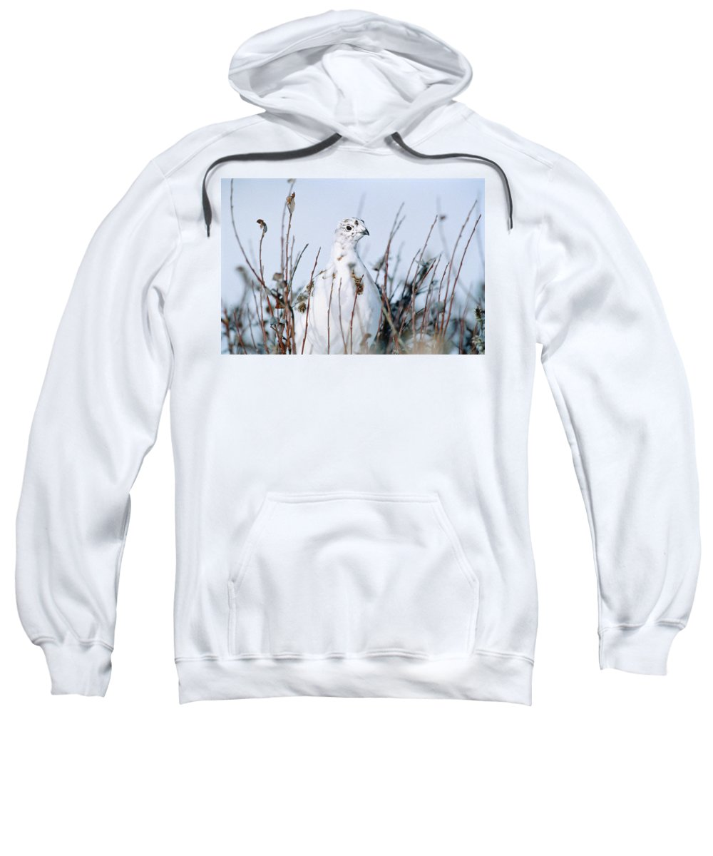 Close Shot Sweatshirt featuring the photograph Ptarmigan Lagopus Lagopus, Churchill by Mike Grandmailson