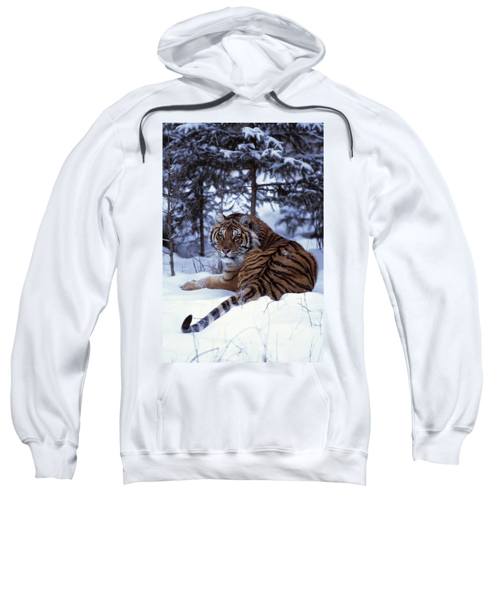 Cold Sweatshirt featuring the photograph Siberian Tiger Lying On Mound Of Snow by Natural Selection David Ponton