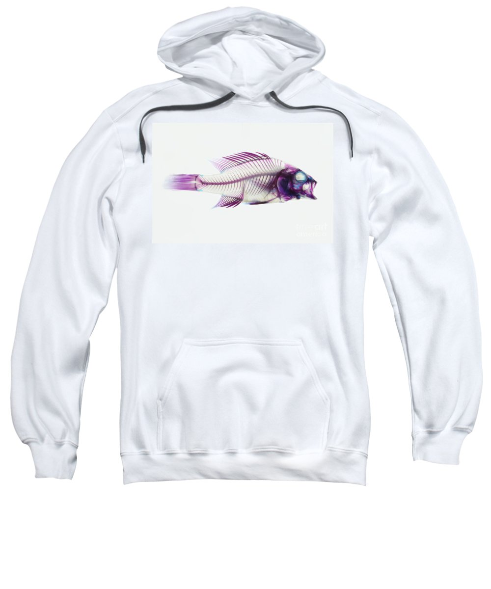 Stained Fish Sweatshirt featuring the photograph Stained Rockbass Fish by Ted Kinsman