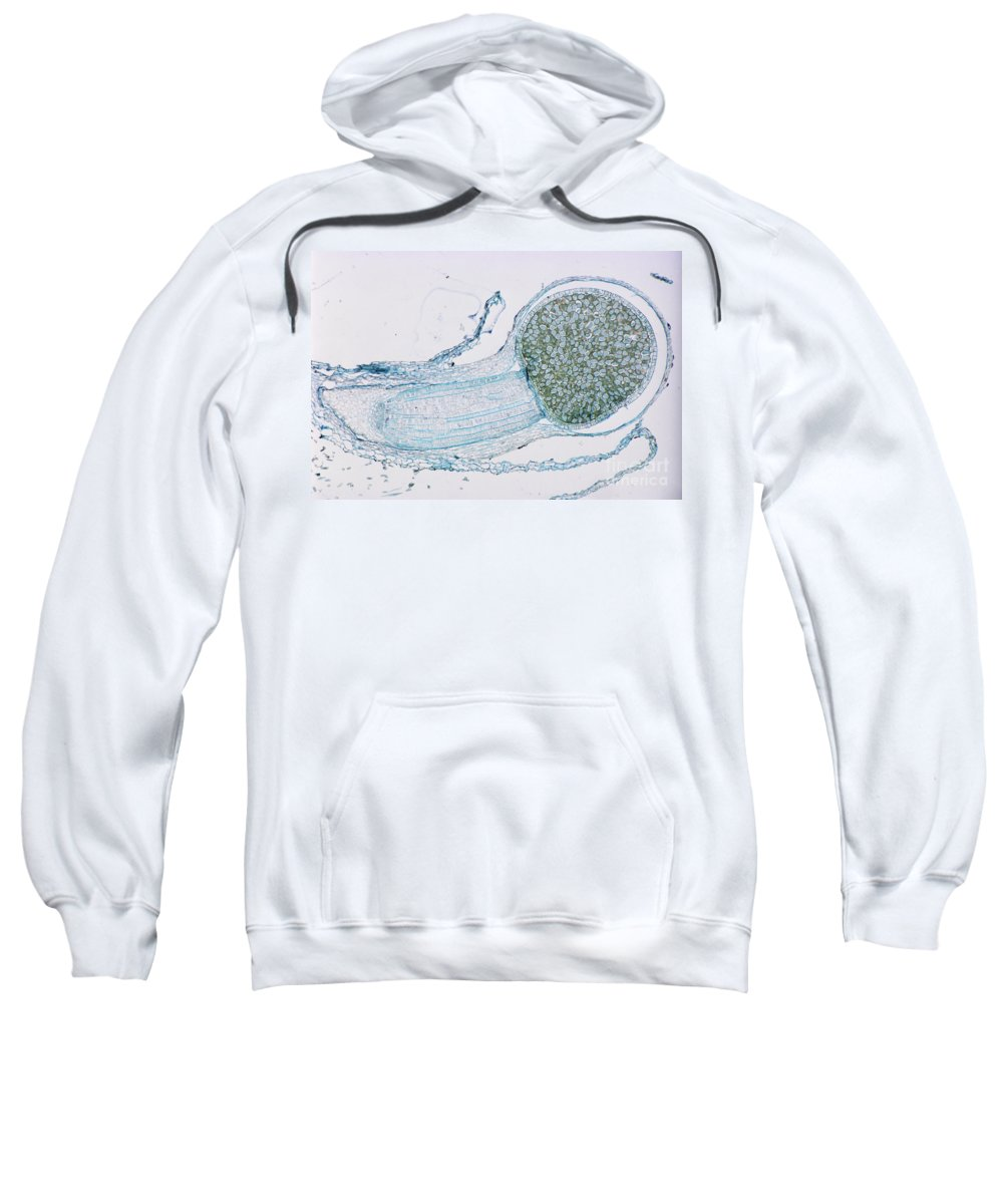 Plant Sweatshirt featuring the photograph Strobilus On Horsetail Plant by M. I. Walker