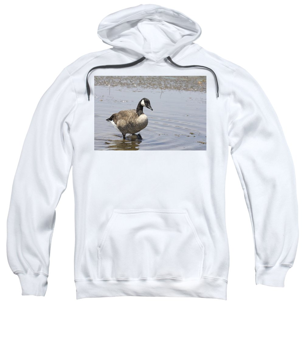 Canadian Goose Sweatshirt featuring the photograph Water Wading by Douglas Barnard