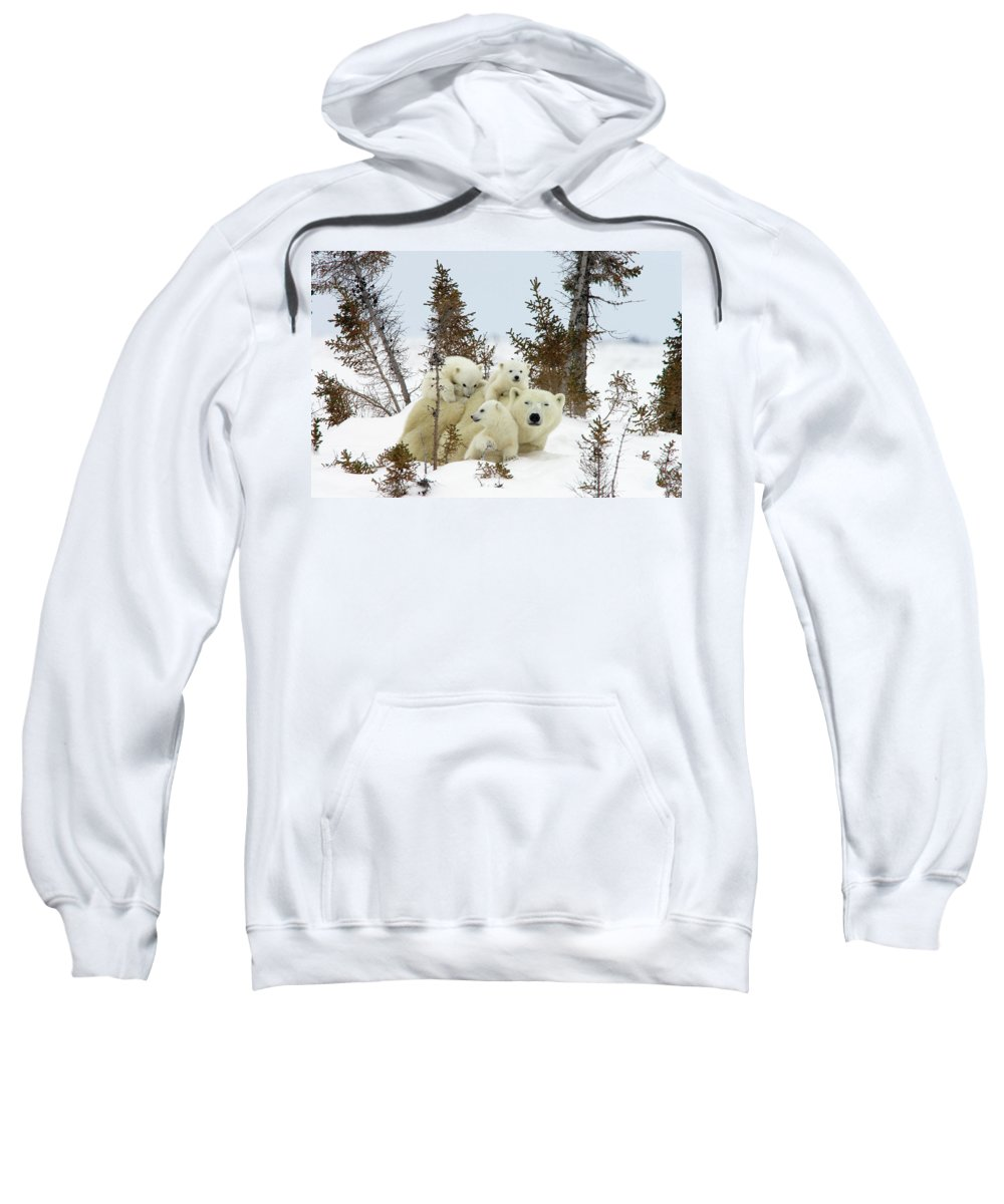 Mp Sweatshirt featuring the photograph Polar Bear Ursus Maritimus Trio by Matthias Breiter