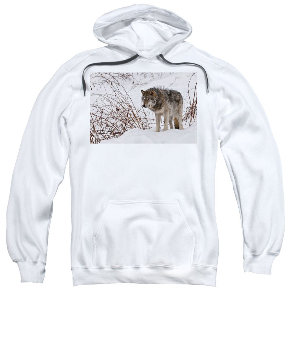 Michael Cummings Sweatshirt featuring the photograph Timber Wolf In Winter by Michael Cummings