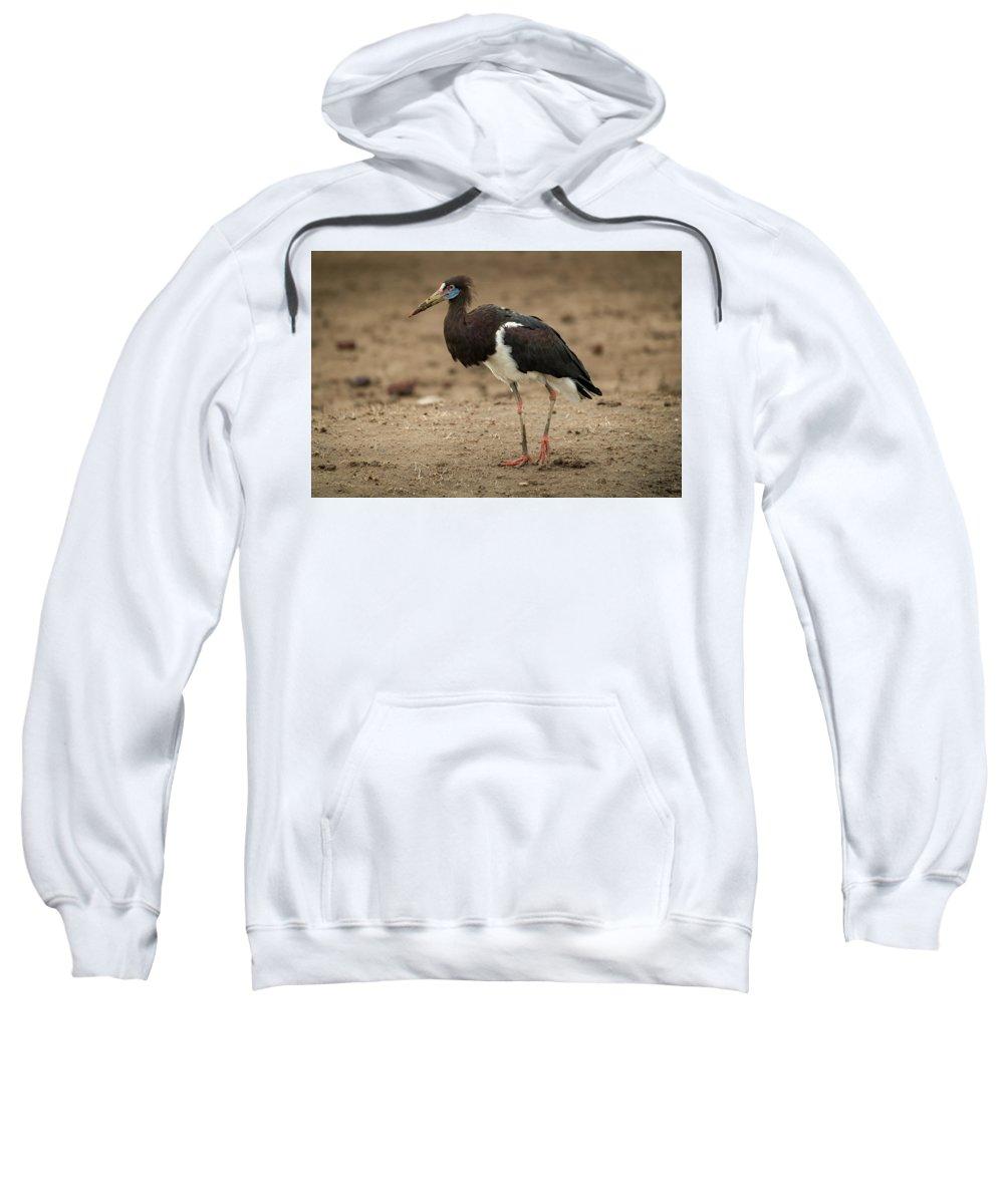 Abdim's Stork Sweatshirt featuring the photograph Abdim Stork Walks Right-to-left Across Muddy Ground by Ndp