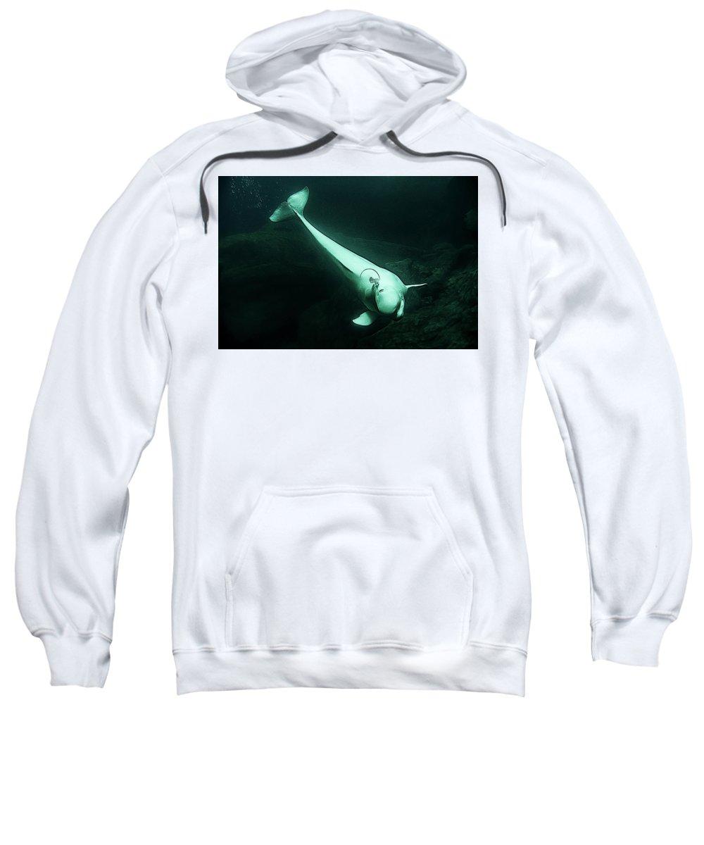 Aquarium Sweatshirt featuring the photograph Beluga Whale 3 by Janet Fikar