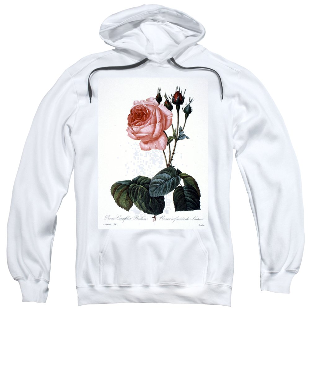 1833 Sweatshirt featuring the photograph Cabbage Rose by Granger