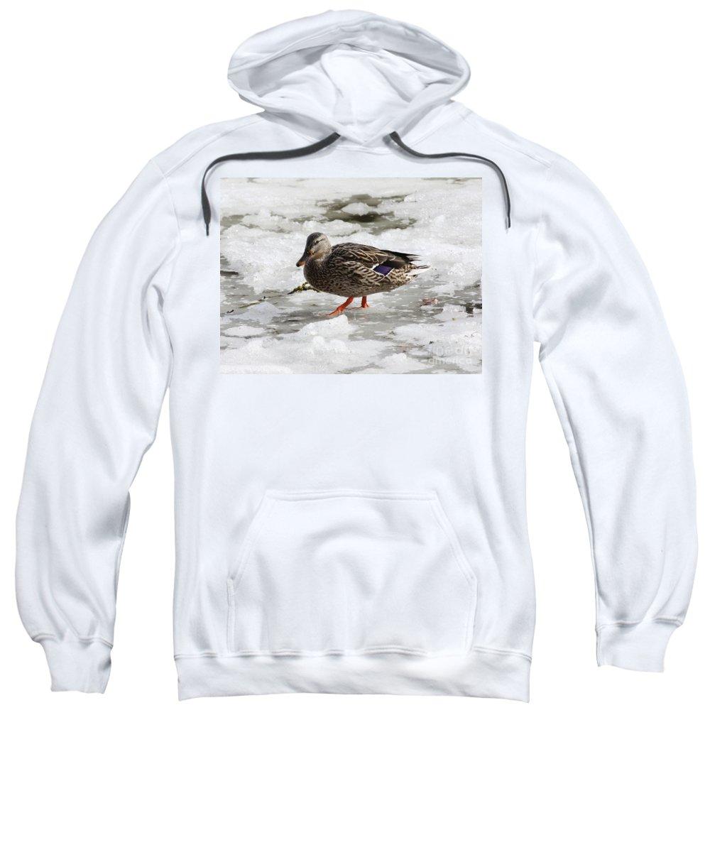 Duck Sweatshirt featuring the photograph Duck Walking On Thin Ice by Carol Groenen