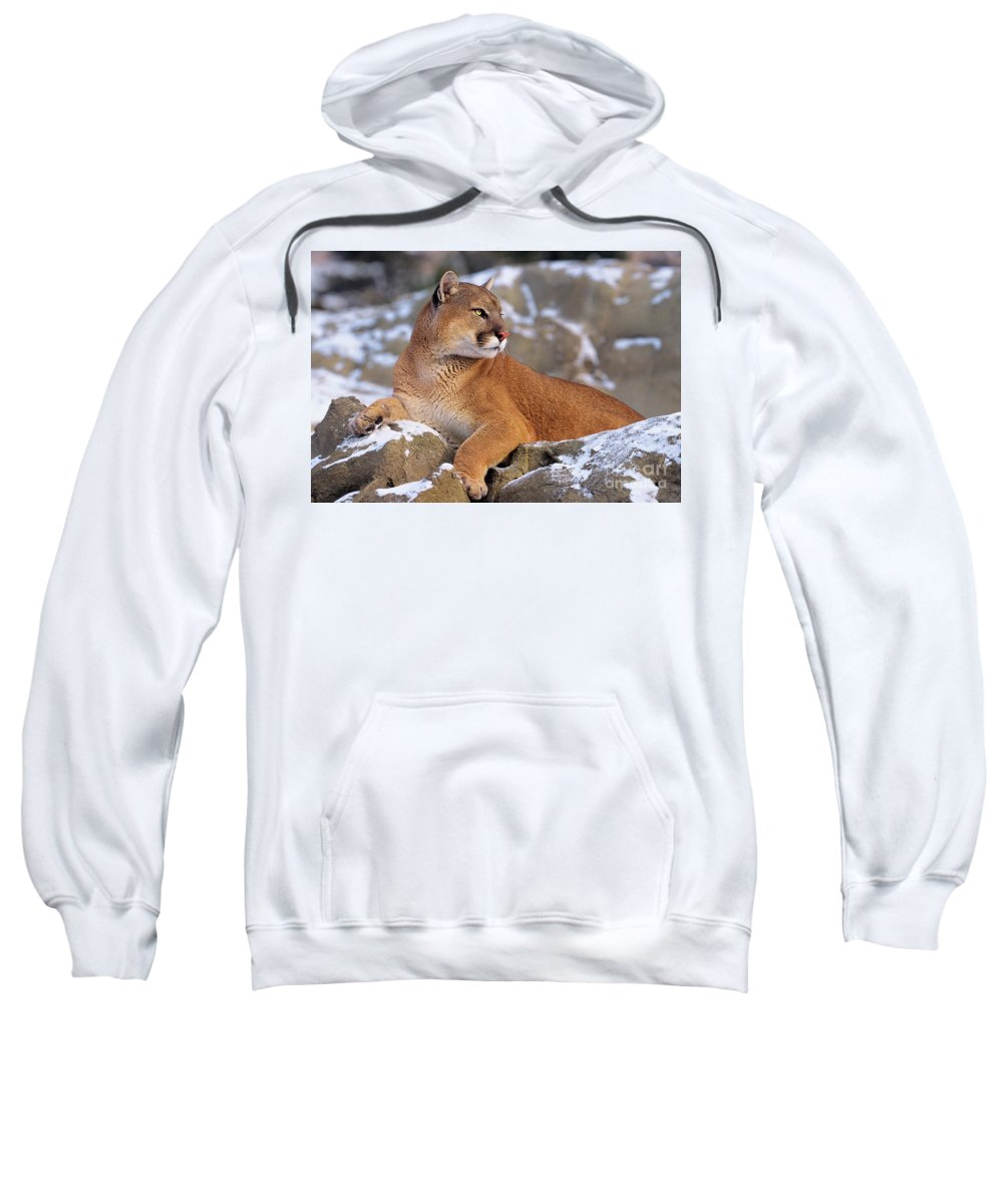 North America Sweatshirt featuring the photograph Mountain Lion On Snow-covered Rock Outcrop by Dave Welling