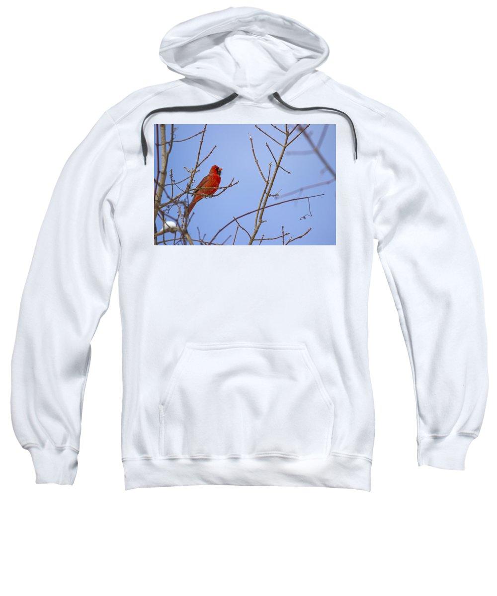 Bird Sweatshirt featuring the photograph Primary Colours - Northern Cardinal - Cardinalis Cardinalis by Spencer Bush