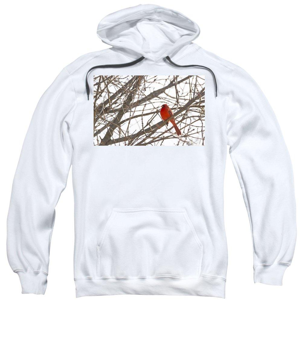 Bird Sweatshirt featuring the photograph Seeing Red - Northern Cardinal - Cardinalis Cardinalis by Spencer Bush