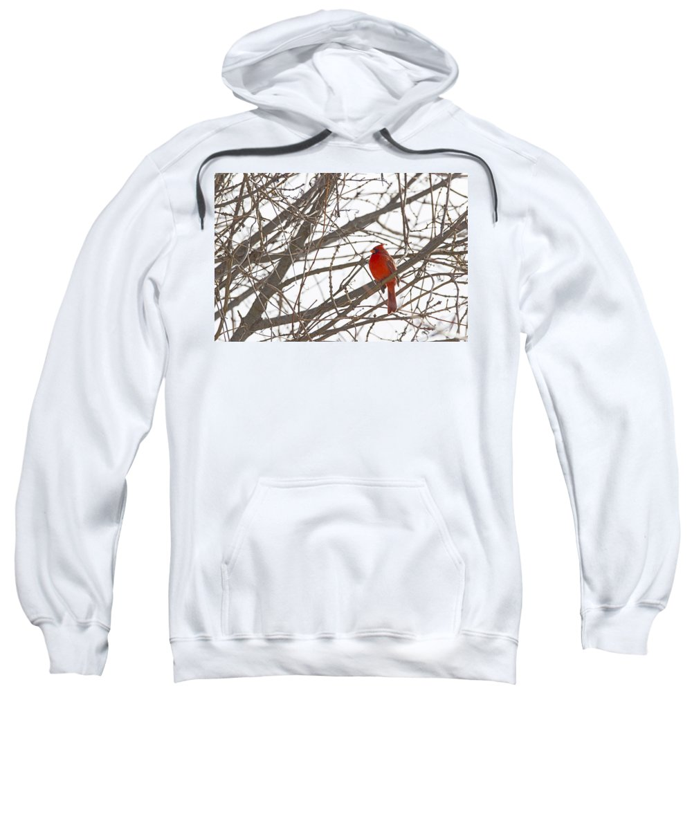 Bird Sweatshirt featuring the photograph Showing His Colours - Northern Cardinal - Cardinalis Cardinalis by Spencer Bush